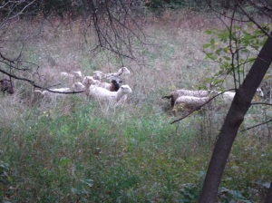 Ram lambs on October pasture
